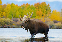 Bull Moose (Alces alces) calling durning fall rut.  Western U.S.