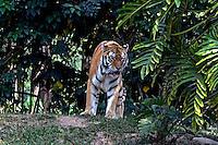 Animais. Mamiferos. Carnivoros. Tigre-siberiano  (Panthera  tigris altaica) no Zoologicol. SP. Foto de Juca Martins.