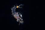 Shrimp Solenocerid, Black Water diving over Gulfstream Current; Florida Atlantic Diving; Plankton; SE Florida Atlantic Ocean off West  Palm Beach; larval fish; marine life; pelagic creatures; pelagic larval marine life; vertical migration marine creatures