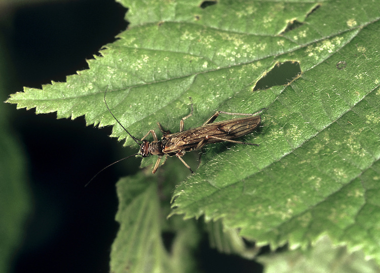 Stonefly - Nemoura cinerea