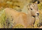 Bighorn Sheep, Juvenile, Close Portrait, Gardner Canyon, North Entrance, Yellowstone National Park, Wyoming
