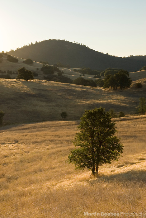 Oak tree sitting on a grassy hillside at sunrise, Cronan Ranch, California