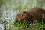 Capybara (Hydrochoerus hydrochaeris) sub-adult feeding on aquatic vegetation, Ibera Provincial Reserve, Ibera Wetlands, Argentina