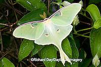 04000-002.18 Luna Moth (Actias luna) on Carnaby Clematis (Clematis sp) Marion Co. IL