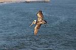 Brown pelican in Pismo Beach