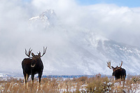 Two Bull Moose, Clearing storm, Grand Tetons, Jackson Hole, Grand Teton National Park