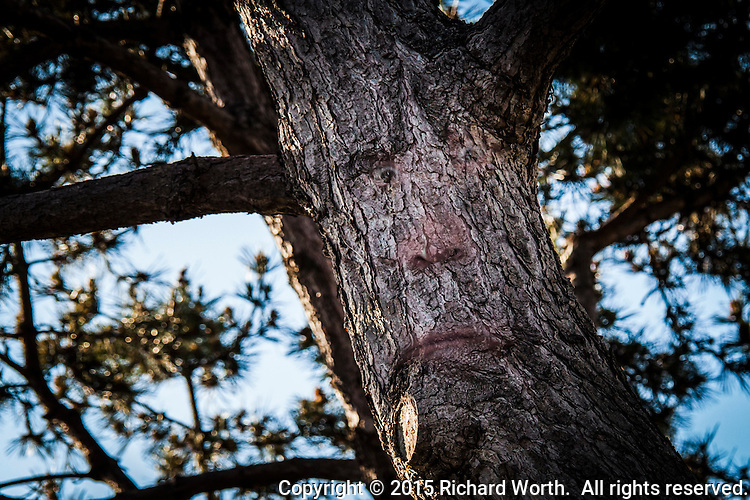 With imagination, the knots in this tree and curve in its bark resemble a face with a frowning mouth.  But, with Photoshop, the facial features become significantly more  identifiable, bizarre and funny.
