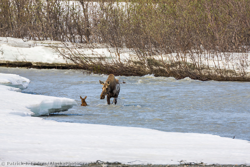 Cow and spring calf moose navigate the swift waters of Phelan creek, Interior, Alaska.