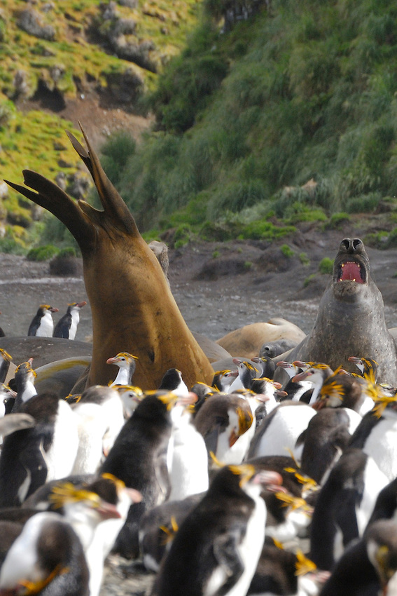 The War Lords II - Male Elephant seals in discusssion among King and royal penguins at Sandy Bay Macquarie Island
