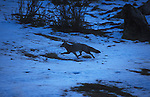 Grey Fox running through snow covered clearing at dusk.Torres del Paine National Park, Chile