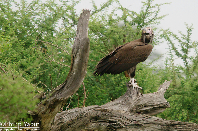 Lappet-faced vulture (Torgos tracheliotos), Kwara Reserve, Okavango Delta, Botswana