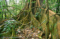 Buttressed base of emergent canopy tree (Brosimum alicastrum) in primary lowland tropical rainforest, Manu National Park, Madre de Dios, Peru.