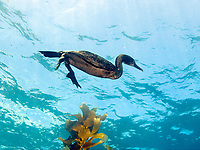 Brandt's cormorant, Phalacrocorax penicilatu, swimming in kelp forest, Catalina Island, Channel Islands, California, USA, Pacific Ocean