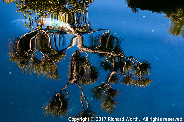 In a Japanese garden koi pond, the reflection of a tree floats on the surface while a koi fish swims below, blending in with the floating limbs of the tree above.