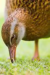 Weka (Gallirallus australis) grazing, Kapiti Island, North Island, New Zealand
