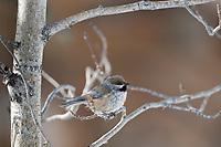Boreal chickadee, Balsam poplar tree, Arctic, Alaska
