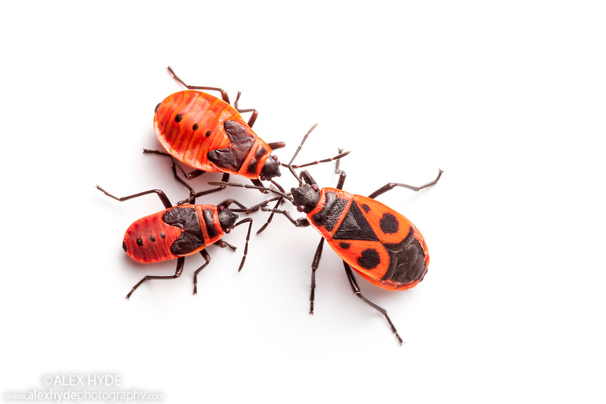 Fire Bugs {Pyrrhocoris apterus} photographed on a white background in mobile field studio, Nomandy, France. July.
