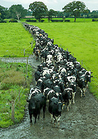 Holstein cows on thier way in for milking.