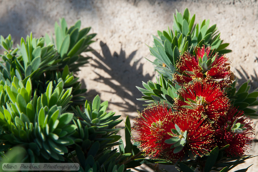 """A dwarf bottlebrush (Callistemon citrinus) in flower in the parkway of the Grand / Diamond Bar intersection. This was part of the 2015 rebuild of the Grand Avenue and Diamond Bar Boulevard intersection for Diamond Bar's 2015 """"Grand Avenue Beautification"""" project, landscape architecture for the project was by David Volz Design."""
