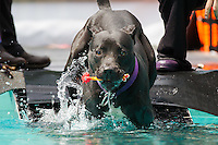 Dog Diving Competition 2014