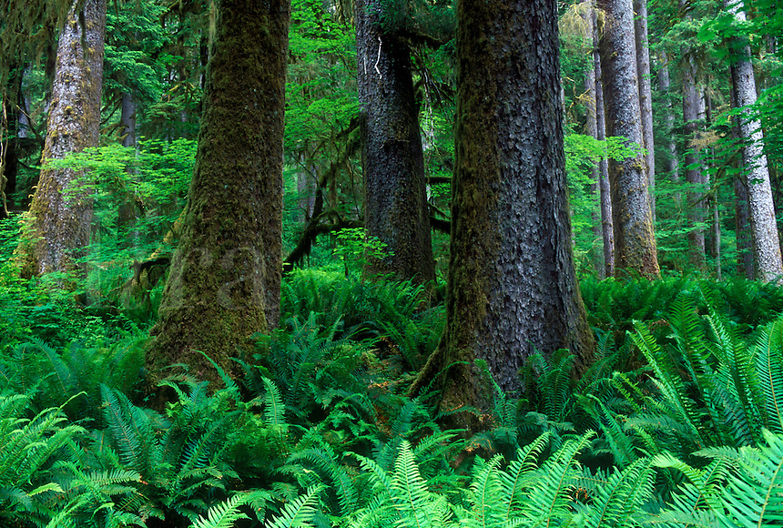 Sitka spruce and sword ferns in the Hoh Rainforest. Hall of Mosses trail. Olympic National Park, WA