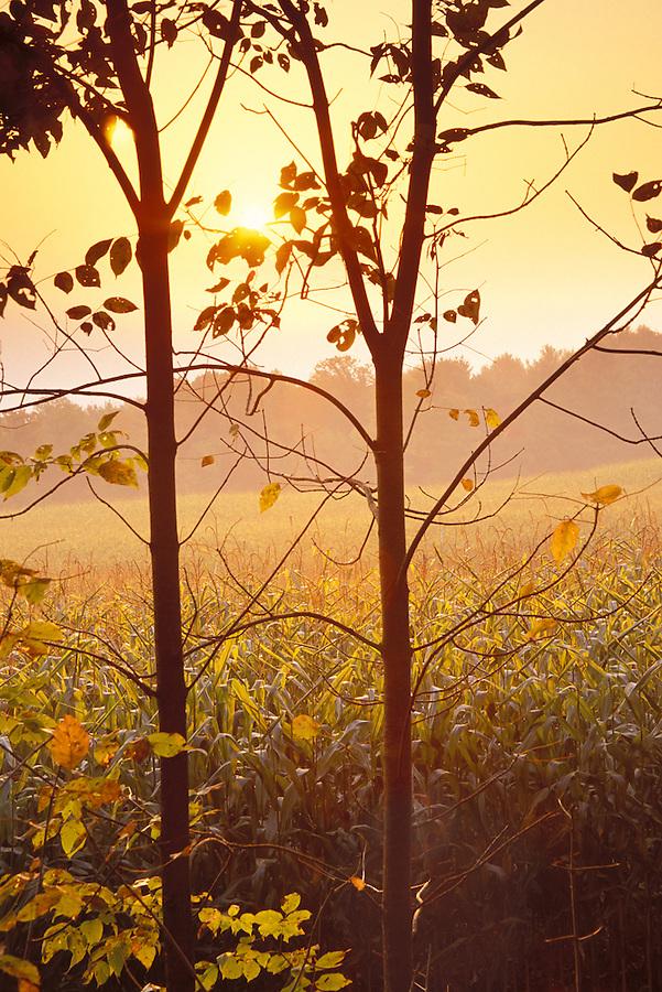 Sunrise over corn fields viewed through trees, St Johnsbury, Caledonia County, VT