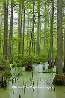 63895-14613 Bald Cypress trees (Taxodium distichum) Heron Pond Little Black Slough, Johnson Co. IL