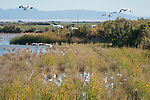 Sonny Bono Salton Sea National Wildlife Refuge, Salton Sea, California; Snow Geese (Chen cairulescens) coming in for a landing, joining a flock resting amongst the reeds of the wetlands