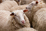 New Zealand, North Island, near Wellington, sheep at artisan sheep cheese operation Kingsmeade in Wairarapa. Photo copyright Lee Foster. Photo # newzealand125933