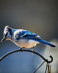 Blue Jay. Image taken with a Nikon D5 camera and 600 mm f/4 VR lens (ISO 1000, 600 mm, f/4, 1/1250 sec)