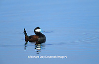 00775-00115  Ruddy Duck (Oxyura jamaicensis) male in wetland Waubay NWR Mgmt Area Waubay SD