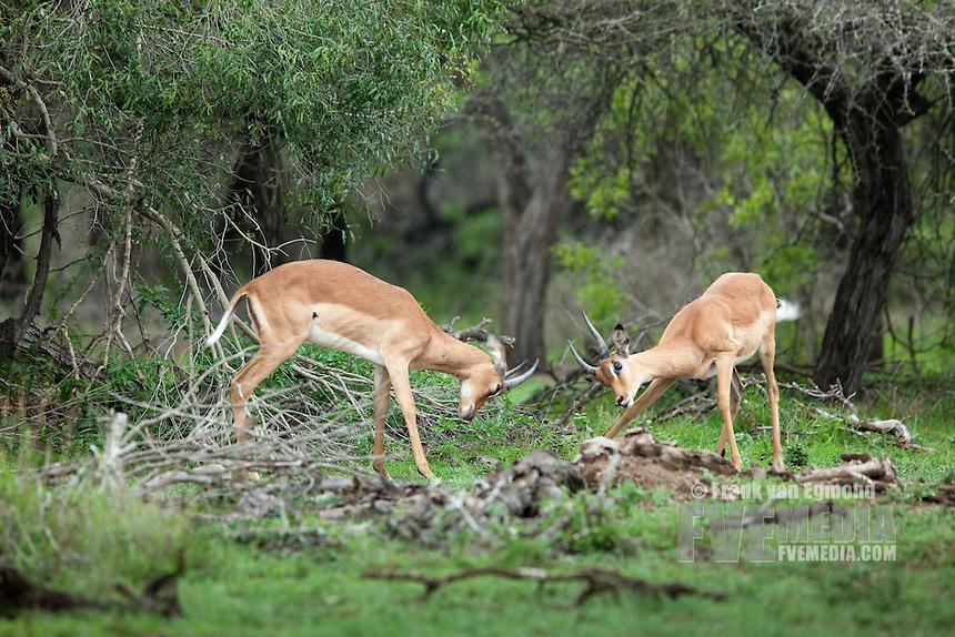 Impala (Aepyceros melampus )..Mkhuze Game Reserve, Kwazulu-Natal, South Africa..November 2010.