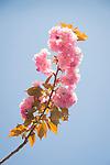 Kanzan flowering cherry tree.