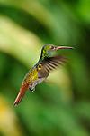 Amazalia Colirrufa / colibríes de Panamá.<br /> <br /> Rufous-tailed Hummingbird / hummingbirds of Panama.<br /> <br /> Amazalia tzacatl.<br /> <br /> EDICIÓN LIMITADA / LIMITED EDITION (25)