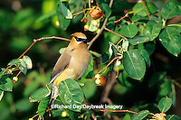 01415-021.20 Cedar Waxwing (Bombycilla cedrorum) in Shadblow Serviceberry bush (Amelanchier canadensis) Marion Co. IL