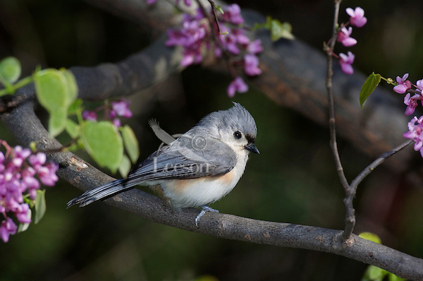 Tufted Titmouse (Parus bicolor) in redbud tree. Carolinian Forest. Spring. Lake Erie. Point Pelee National Park, Ontario. Canada.