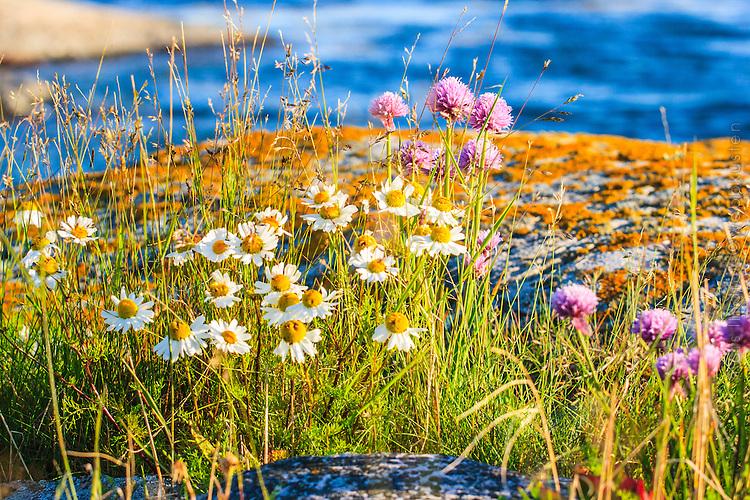 Blommorna balderbrå coh gräslök på en klippa i Stockholms skärgård