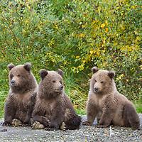 Brown bear triplet spring cubs, Katmai National Park, Alaska.