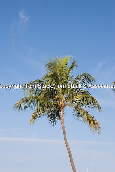Coconut palm,Florida Keys