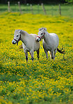 Pair of white horses in field of buttercups at Kelly Farm on Jeff Road in Monrovia.  Bob Gathany photo.