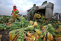 Picking Helemus Brussel sprouts on John Sephton's Bonny Barn Farm, Banks, Southport, Lancashire. The 20 acre crop will supply catering outlets and will be part  of Christmas dinners in the London area.