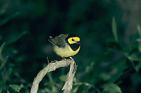 Hooded Warbler, Wilsonia citrina, male, High Island, Texas, USA, April 2001