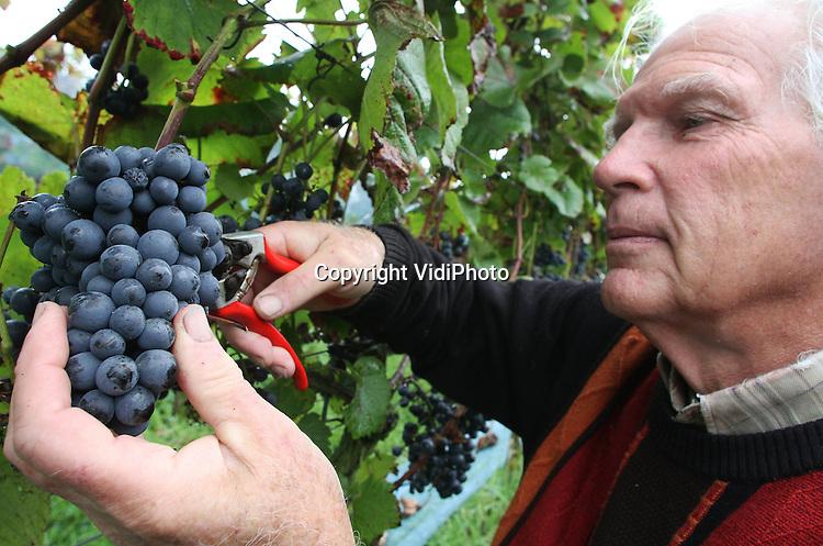 Foto: VidiPhoto..WINTERSWIJK - Late druivenoogst dit jaar. Henk Marmelstein van de Achterhoekse wijngaard de Reeborghesch plukt woensdag de eerste rode druiven voor de meest bijzondere wijn van Nederland en wellicht van de wereld: IJstijdwijn. De 2 ha grote wijngaard is gepland op uitgegraven grond die dateert uit de IJstijd. Behalve dat, vallen de wijnen van de Reeborghesch ieder jaar in de prijzen, zowel nationaal als internationaal. De Winterswijkse wijngaard is bovendien aangesloten bij de enige wijncoöperatie van Nederland, de CVAW. Mede dankzij het advies van een professionele Duitse wijnmaker behoren de Achterhoekse wijnen tot de top van Nederland, met als belangrijkste afnemers Hanos en KLM. De druivenoogst komt dit jaar later op gang dan normaal, dankzij lange natte perioden in voorjaar, zomer en ook nu weer..