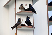 Purple Martin (Progne subis subis), Northern subspecies, males and females on a nest house at Cape May Point State Park in Cape May, New Jersey.