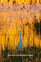 00688-02608 Great Egret (Ardea alba) at sunset Viera Wetlands Brevard County FL