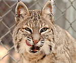 """HOLTSVILLE,NY- WEDNESDAY, DECEMBER 19, 2007: """"Mufasa"""" a female Bobcat who was confiscated illegal pet in it's enclosure at the Harold H. Malkmes Ecology and Wildlife Center at Holtsville Park in Holtsville. Newsday / Jim Peppler"""