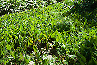 Lily of the valley foliage Convallaria majalis in summer foliage spreading groundcover