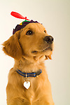 Portrait of a Golden Retriever puppy wearing a beanie hat with propeller