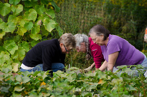 Women working together in community Garden, Yarmouth, ME, USA