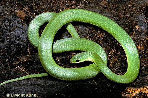 1R04-080a  Smooth Green Snake -  Opheodrys vernalis